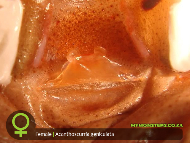 Acanthoscurria geniculata - Giant White Knee - Female Tarantula Spermatheca - Sexing