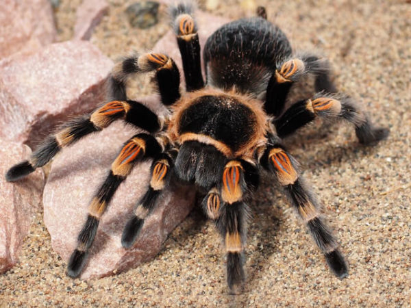 Brachypelma hamorii - Mexican Red Knee
