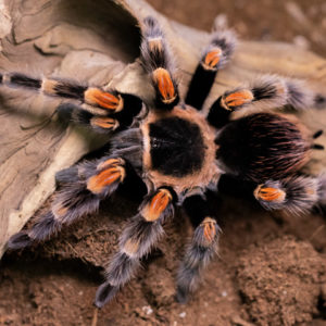 Brachypelma hamorii - Mexican Red Knee - Mature Female - Copyright © Danny de Bruyne