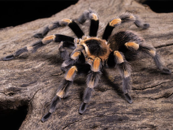 Brachypelma hamorii - Mexican Red Knee - Mature MalePhoto Credit: Danny de Bruyne