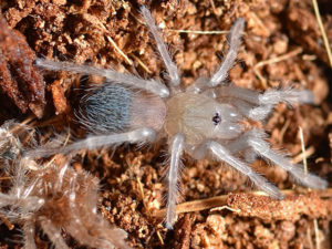 Brachypelma hamorii - Mexican Red Knee - Spiderling/Sling - Photo Credit: Unknown