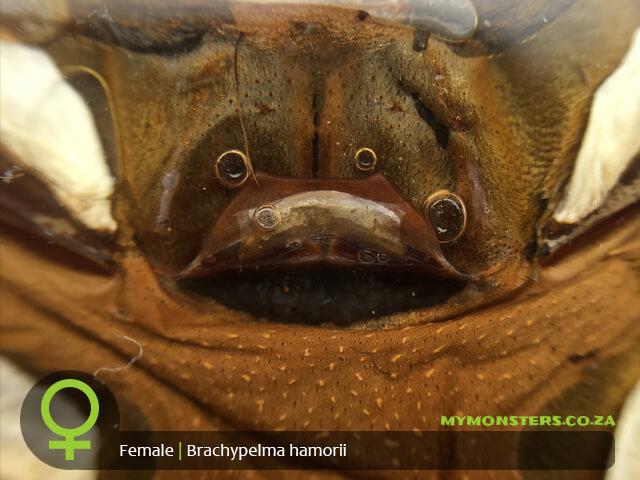 Brachypelma hamorii - Mexican Red Knee - Female Tarantula Spermatheca - Sexing