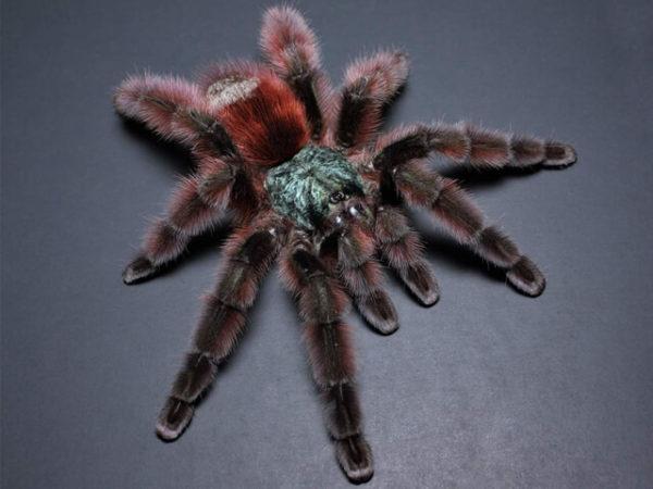 Caribena versicolor - Martinique Pink Toe - Mature Female - Photo Credit - Chase Campbell (CEC Arachnoboards)