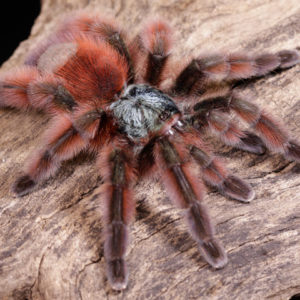 Caribena versicolor - Martinique Pink Toe - Mature Female - Copyright © Danny de Bruyne