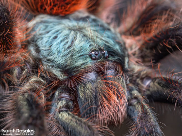 Caribena versicolor - Martinique Pink Toe. Photo Credit - Isaiah Rosales (FlexZone Arachnoboards)