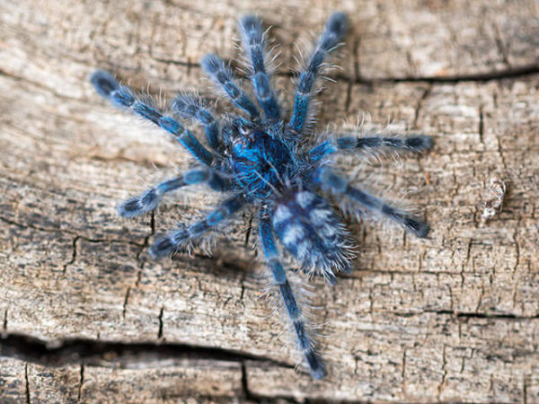 Caribena versicolor - Martinique Pink Toe - Spiderling/Sling - Copyright © Danny de Bruyne