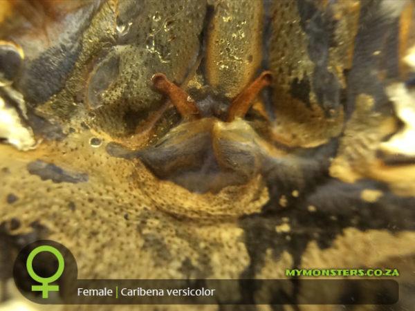 Caribena versicolor - Martinique Pink Toe - Female Tarantula Spermatheca - Sexing - Copyright © Danny de Bruyne