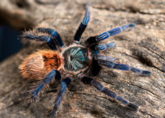 Chromatopelma cyaneopubescens - Green Bottle Blue - Juvenile Male