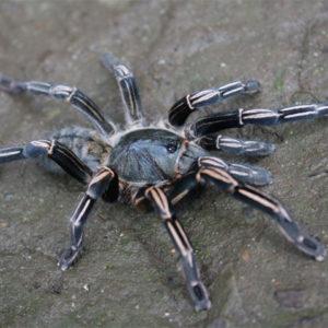 Sub-Adult Female Cyriopagopus albostriatus - Thai ZebraPhoto Credit: Isaiah Rosales, FexZone Arachnoboards