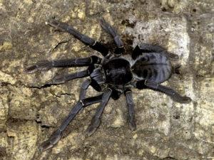 Female Phormingochilus carpenteri -Sulawesi Black