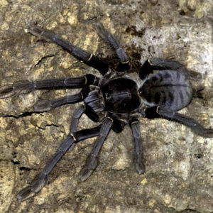 Phormingochilus carpenteri - Sulawesi Black - Mature Female