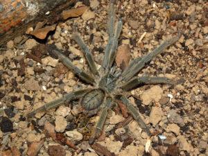 Male Phormingochilus carpenteri -Sulawesi Black