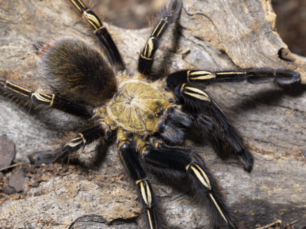 Ephebopus murinus - Skeleton Leg - Juvenile Female. Photo Credit: Danny de Bruyne