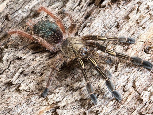 Ephebopus murinus - Skeleton Leg - Sling / Spiderling. Photo Credit: Danny de Bruyne