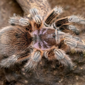 Grammostola porteri - Chilean Rose (Normal Colour Form) - Mature Female - Copyright © Danny de Bruyne