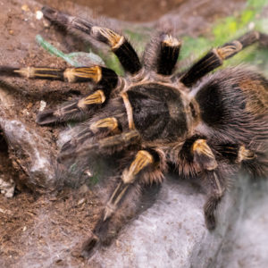 Grammostola pulchripes - Chaco Golden Knee - Mature Female - Copyright © Danny de Bruyne