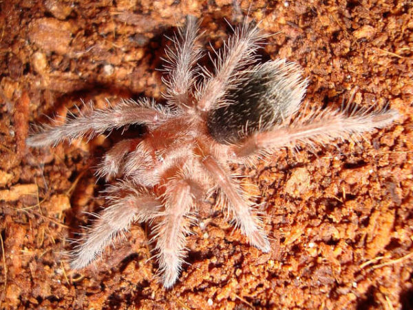 Grammostola pulchra - Brazilian Black - Spiderling/Sling - Photo Credit: Please contact us / Unknown