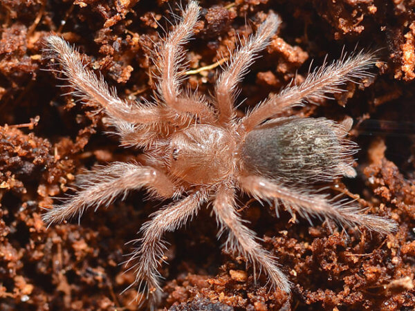 Grammostola rosea - Chilean Rose - Spiderling/Sling - Photo Credit: Please contact us / Unknown