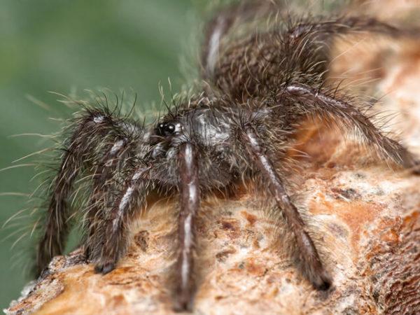 Heteroscodra maculata - Togo Starburst - Spiderling