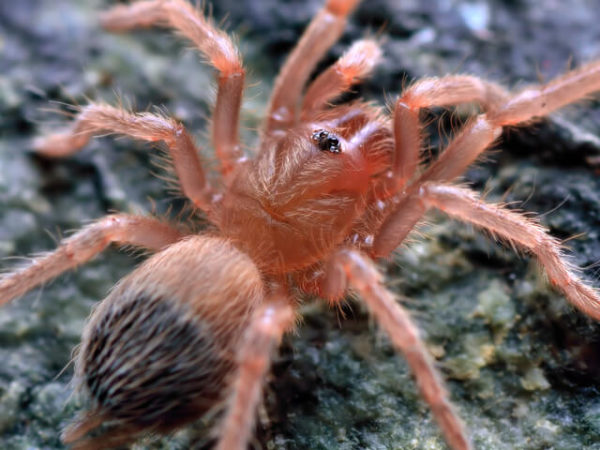 Nhandu tripepii – Brazilian Giant Blonde - Spiderling - Photo Credit: Please contact us / Unknown
