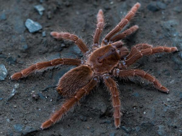 Pelinobus muticus - King BaboonPhoto Credit: Isaiah Rosales, FlexZone Arachnoboards