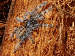 Poecilotheria formosa - Salem Ornamental - Spiderling - Photo Credit: Please contact us / Unknown