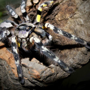 Poecilotheria striata - Mysore Ornamental Tarantula - Mature Female - Photo Credit: Please contact us / Unknown