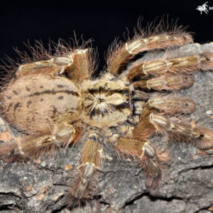 Stromatopelma calceatum - Featherleg BaboonPhoto Credit: https://www.spidersworld.eu