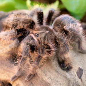 Tliltocatl albopilosus - Curly Hair Tarantula - Juvenile Female - Copyright © Danny de Bruyne