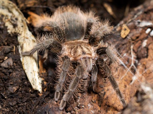 Tliltocatl albopilosus - Curly Hair Tarantula - Juvenile - Copyright © Danny de Bruyne