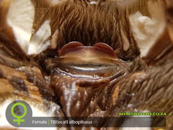 Tliltocatl albopilosum - Curly Hair tarantula - Female Tarantula Spermatheca - Sexing