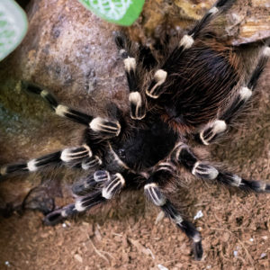 Acanthoscurria geniculata - Giant White Knee - Mature Female - Copyright © Danny de Bruyne