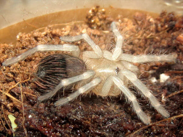 Acanthoscurria geniculata - Giant White KneeAcanthoscurria geniculata - Giant White Knee - Sling - Photo Credit: Please contact us / Unknown