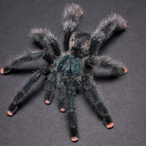 Avicularia avicularia - Common Pink Toe. Photo Credit - Chase Campbell (CEC Arachnoboards)
