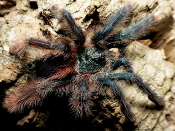Avicularia braunshauseni - Goliath Pink ToePhoto Credit: Chase Campbell, Arachnoboards