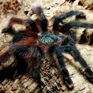 Avicularia braunshauseni - Goliath Pink Toe - Mature Female - Photo Credit: Chase Campbell, Arachnoboards