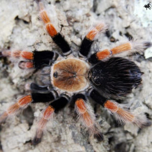 Brachypelma boehmei - Mexican Fire LegPhoto Credit: https://www.spidersworld.eu