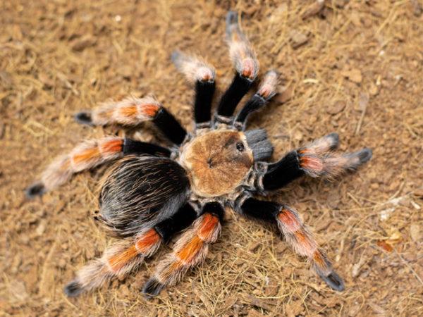 Brachypelma boehmei - Mexican Fire Leg - Mature Female - Copyright © Danny de Bruyne