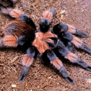 Brachypelma emilia - Mexican Red Leg - Mature Male - Copyright © Danny de Bruyne