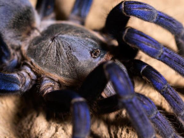 Cyriopagopus lividus / Haplopelma Lividum - Cobalt Blue - Mature Female - Copyright © Danny de Bruyne