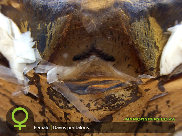 Davus pentaloris - Guatemalan Tiger Rump - Mature Female Tarantula Spermatheca - Sexing - Photo Credit: Danny de Bruyne