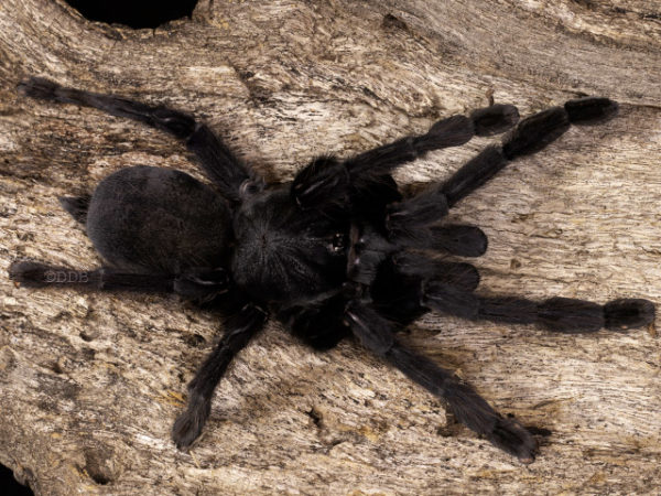 Lampropelma nigerrimum - Sangihe Black - Mature Female - Photo Credit: © Danny de Bruyne