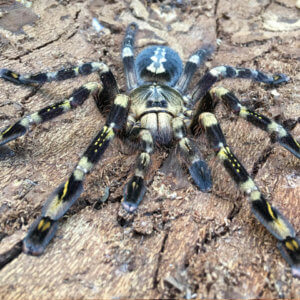 Poecilotheria subfusca - Ivory Ornamental - Mature Female - Photo Credit: Please contact us / Unknown