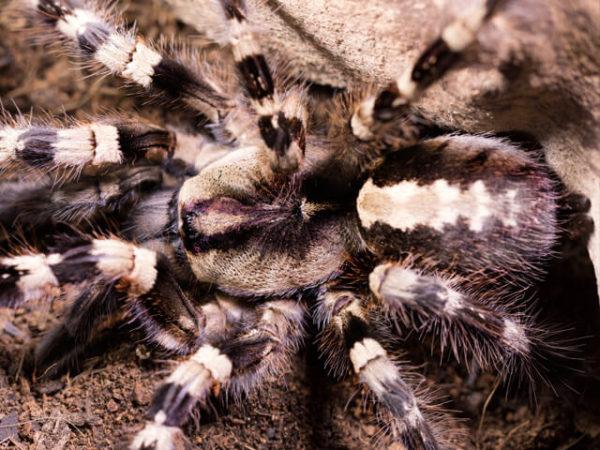 Poecilotheria tigrinawesseli - Wessel's tiger ornamental / Anantagiri's parachute spider - Mature Female - Copyright © Danny de Bruyne