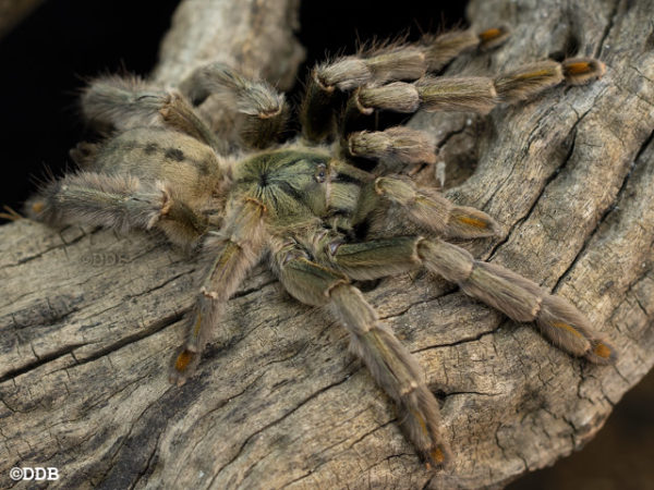 Psalmopoeus cambridgei - Trinidad Chevron - Mature Female - Copyright © Danny de Bruyne