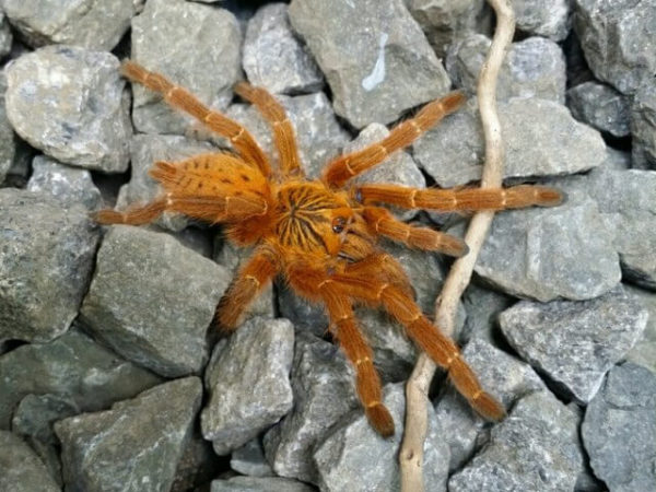 Pterinochilus murinus - Usumbara Orange Baboon - Mature Female - Photo Credit: Isaiah Rosales, FlexZone Arachnoboards