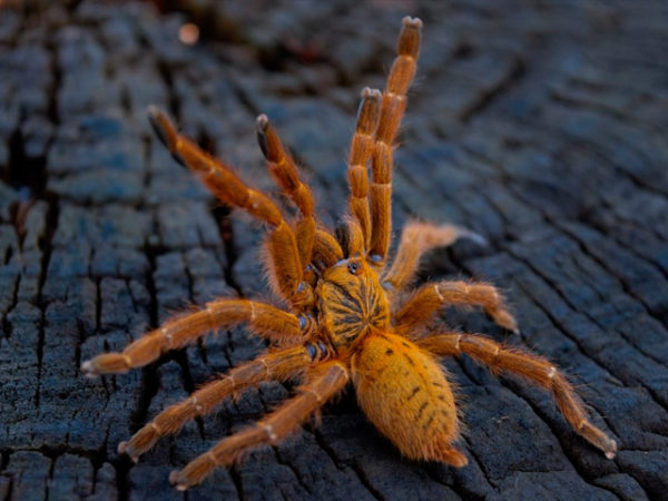 Pterinochilus murinus - Usumbara Orange Baboon Tarantula - Mature Female - Photo Credit: Isaiah Rosales / FlexZone (Arachnoboards)