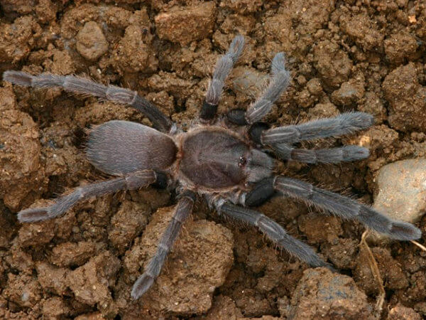 Selenocosmia crassipes - Australian Barking Spider - Juvenile - Photo Credit: Please contact us / Unknown