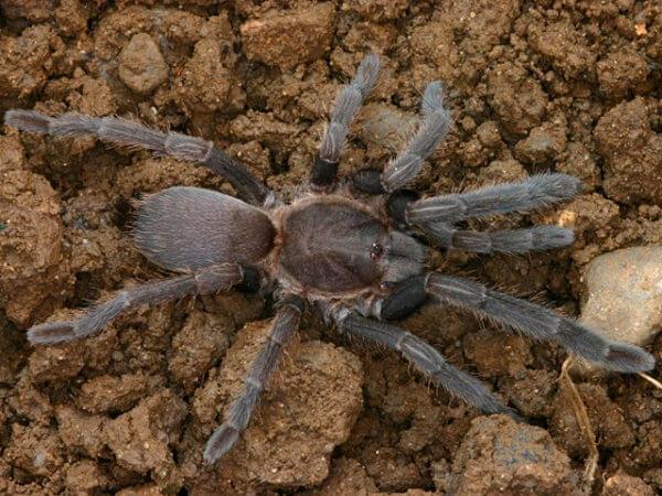 Selenocosmia crassipes - Australian Barking Spider