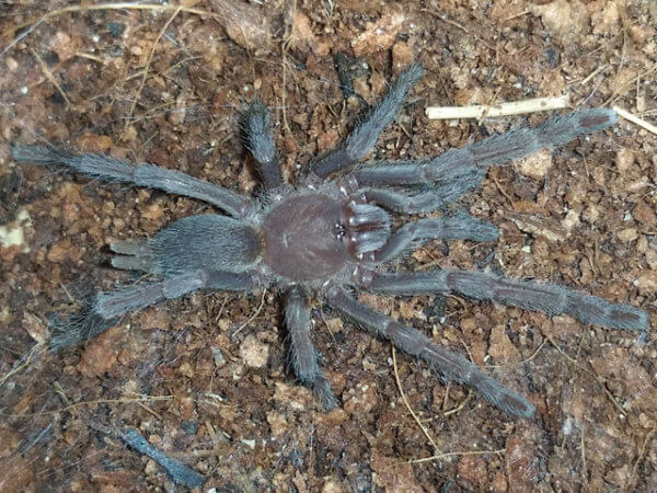 Selenocosmia crassipes - Australian Barking Spider - Mature male - Photo Credit: Please contact us / Unknown